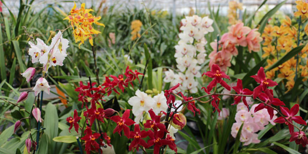 McBeans Nursery in full bloom with various beautiful orchids