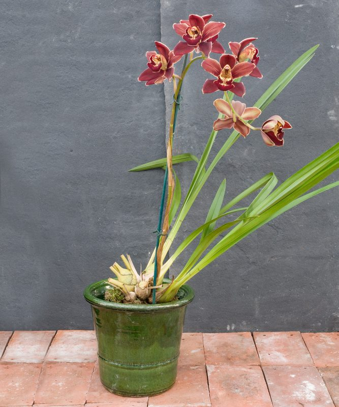 Cymbidium – Pontiac x Highland Hill