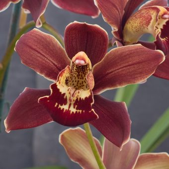 Cymbidium – Pontiac x Highland Hill- close