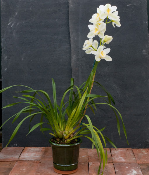 Cymbidium – Ice magic