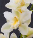 Cymbidium -Ice magic -close