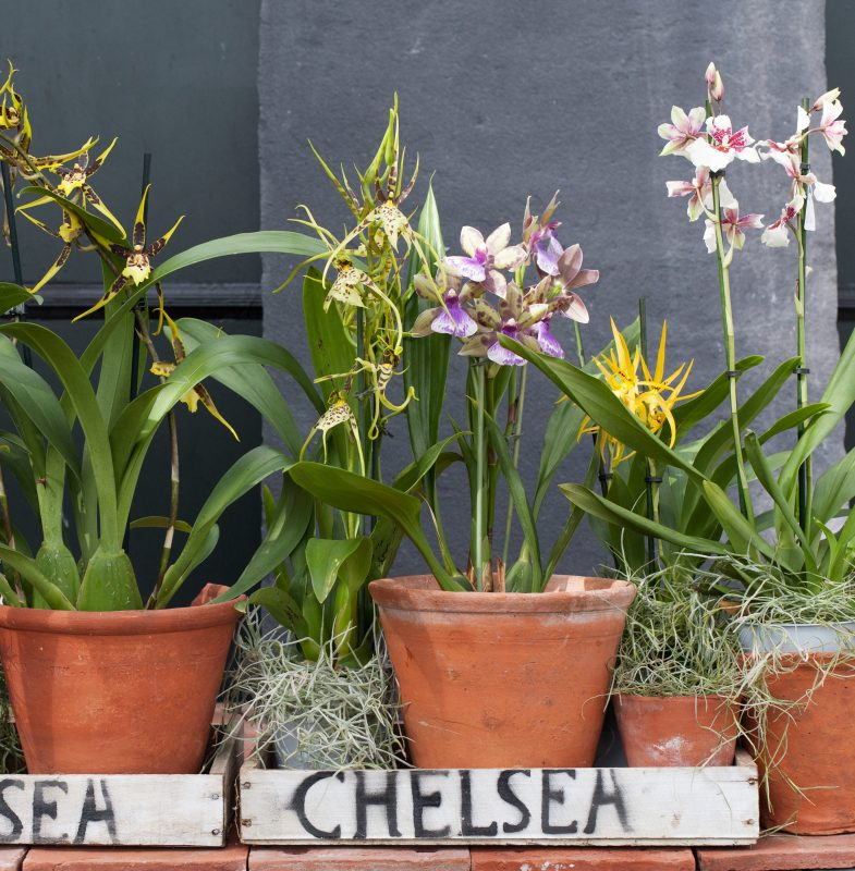 orchid; chelsea; chelsea flower show