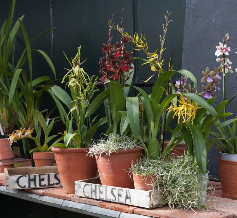 orchid, chelsea flower show, plants, orchids, brassia, black cat, orange delight, eternal wind, romy, cher, zygopetalum, cantante, oncostelle
