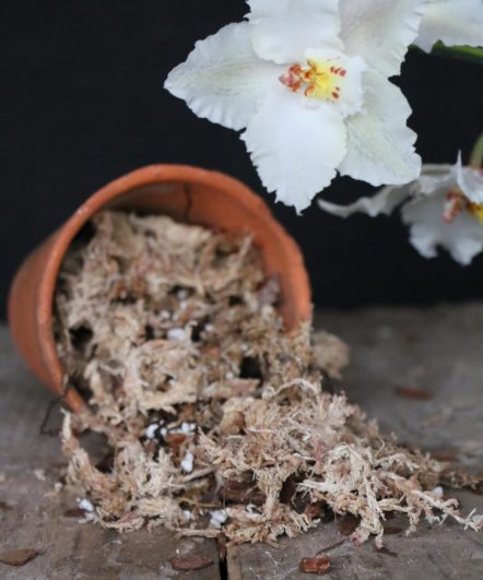Sphagnum Moss Mix is the ideal compost mixture for Cymbidium Orchids