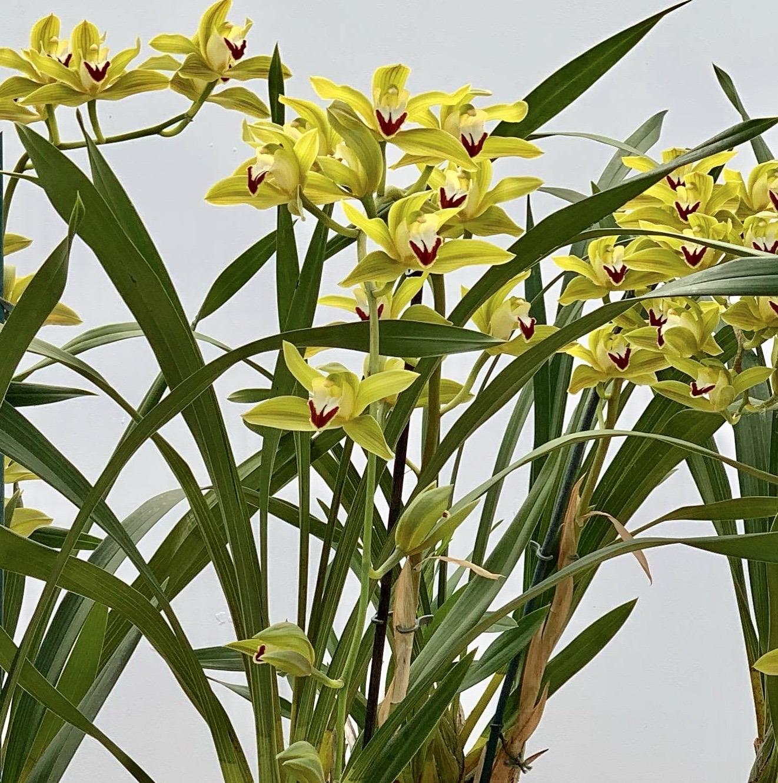 Cymbidium Loewianum magnificum